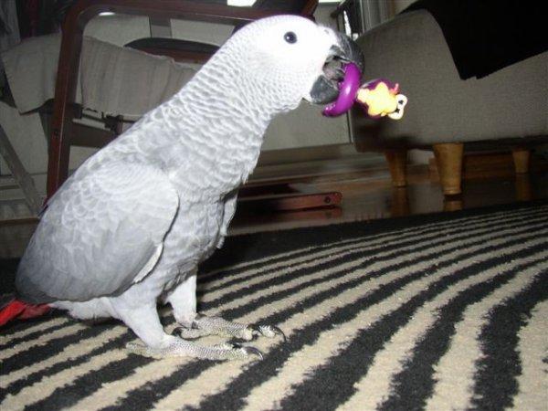 Papageien verschiedener Arten und ihre fruchtbaren Eier zu verkaufen.