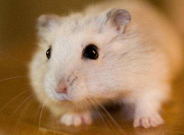 Mein Hamster sucht Pfotensitter über Weihnachten