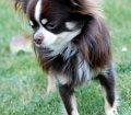 Pfotensitter: Chihuahua in Köln